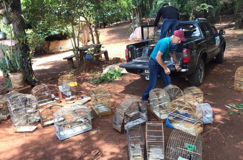 74 Pássaros que estavam em cativeiros foram apreendidos em Pitanga e região