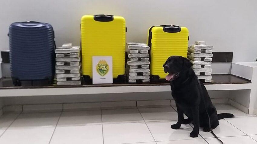 PM localiza três malas com drogas em ônibus de viagem em Guarapuava, com ajuda de cão farejador