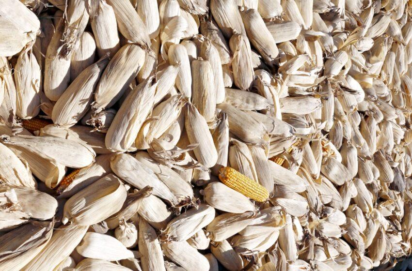 Aconteceu em Nova Tebas – 300 quilos de milhos na espiga já colhidos foram furtados