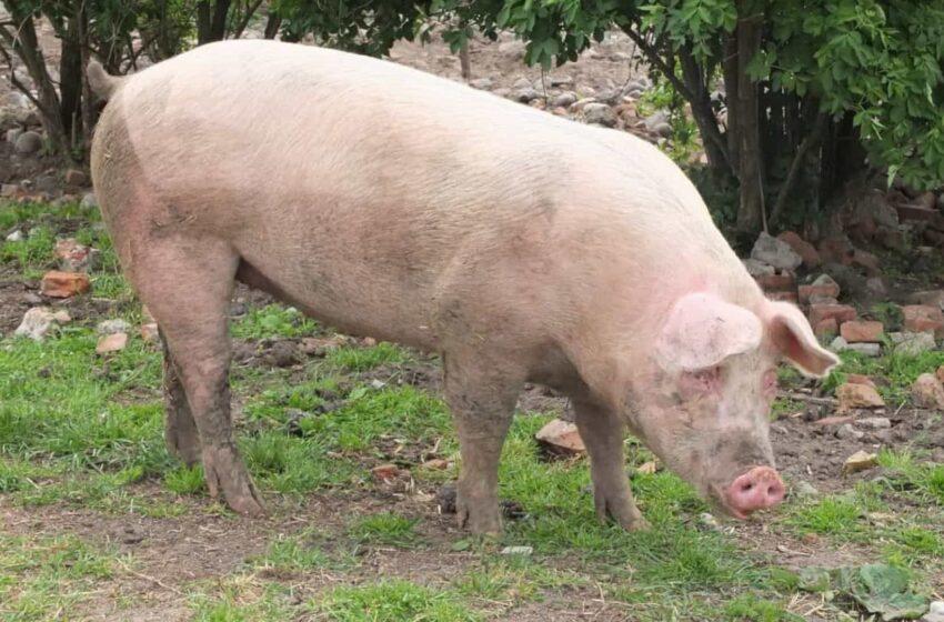 Furtaram mais um porco de uma propriedade no interior de Laranjal