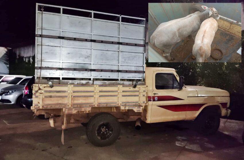 Dois presos com duas cabeças de gado furtadas e uma caminhonete apreendida no interior de Pitanga