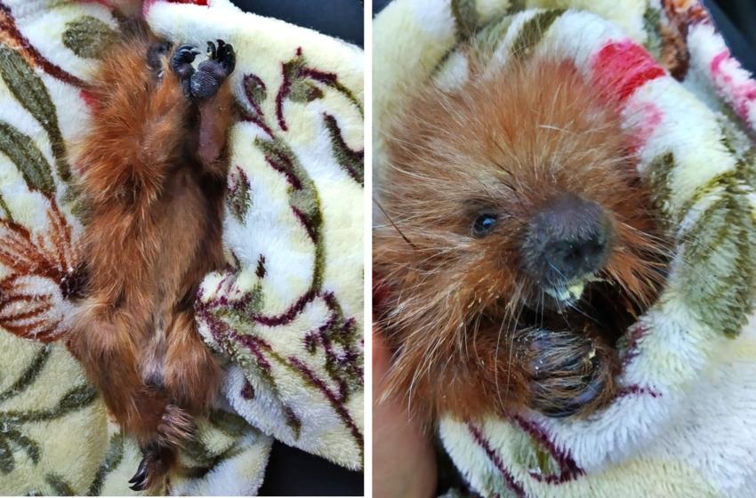 Instituto Água e Terra resgata filhote de ouriço cacheiro