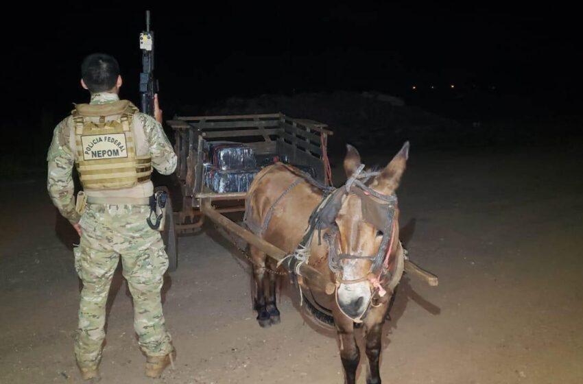 Burro é apreendido pela PF e BPFRON transportando 300kg de maconha em Guaíra