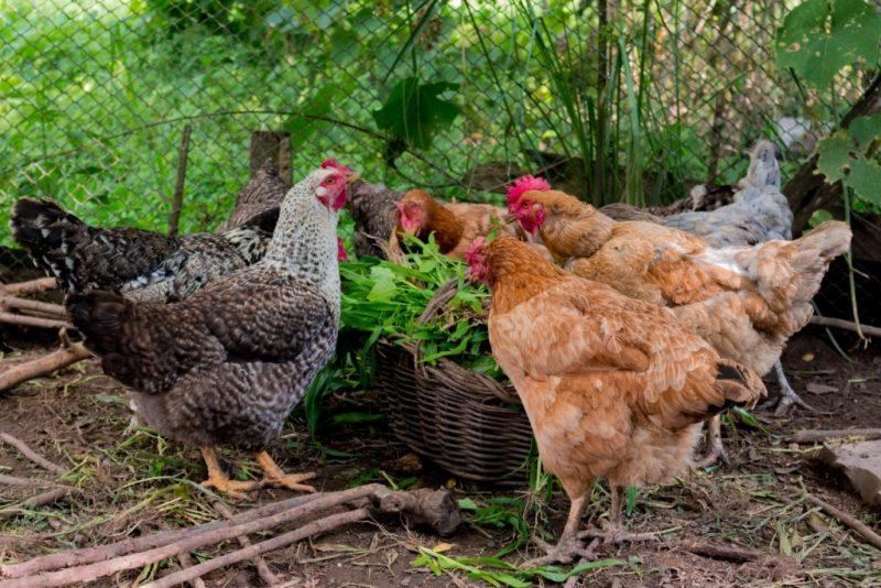 Ladrões de galinhas em Pitanga – (4) galinhas foram furtadas do galinheiro